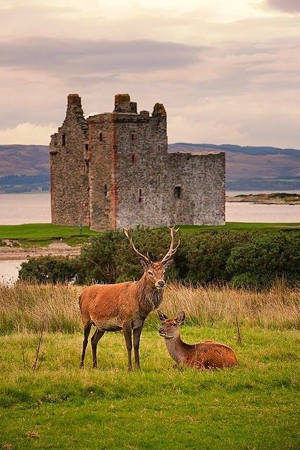 Stags at LochRanza Castle